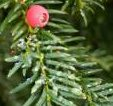 The delicate red berry of the native yew tree